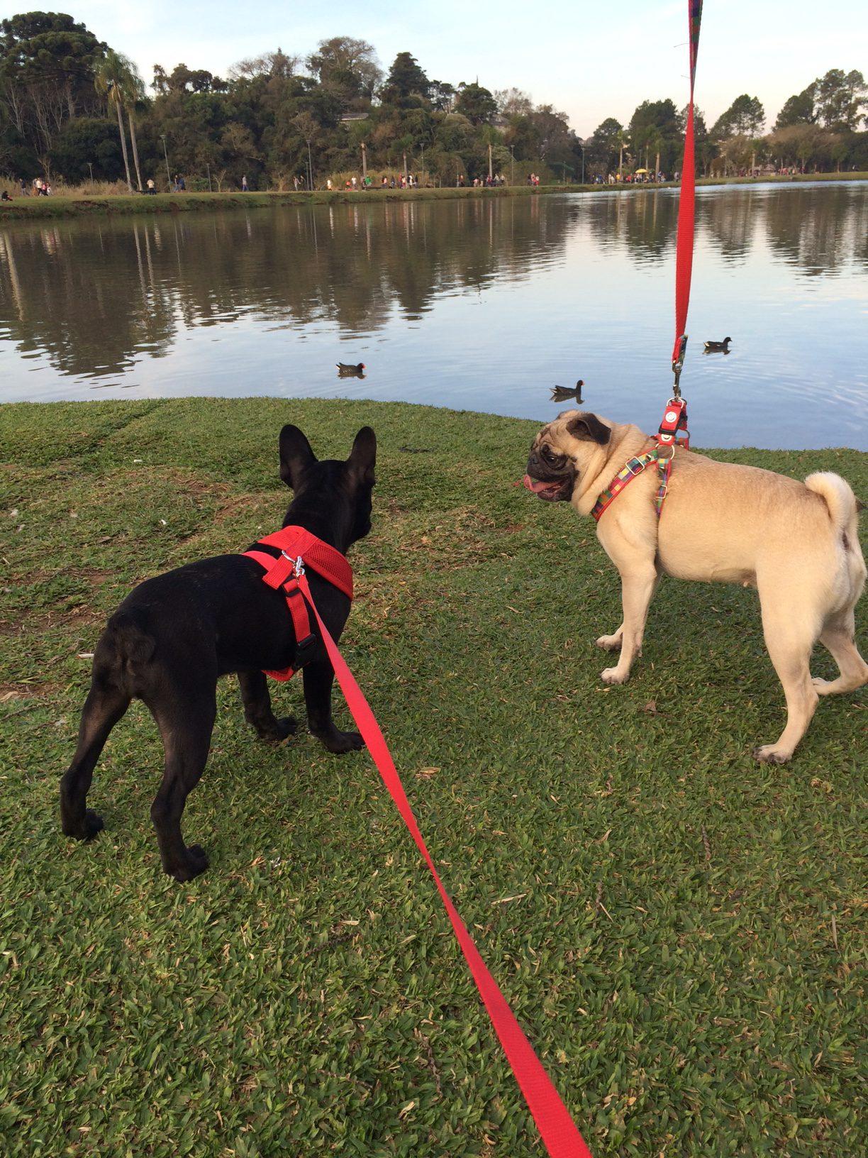 Encontro de Bulldogs e Pugs