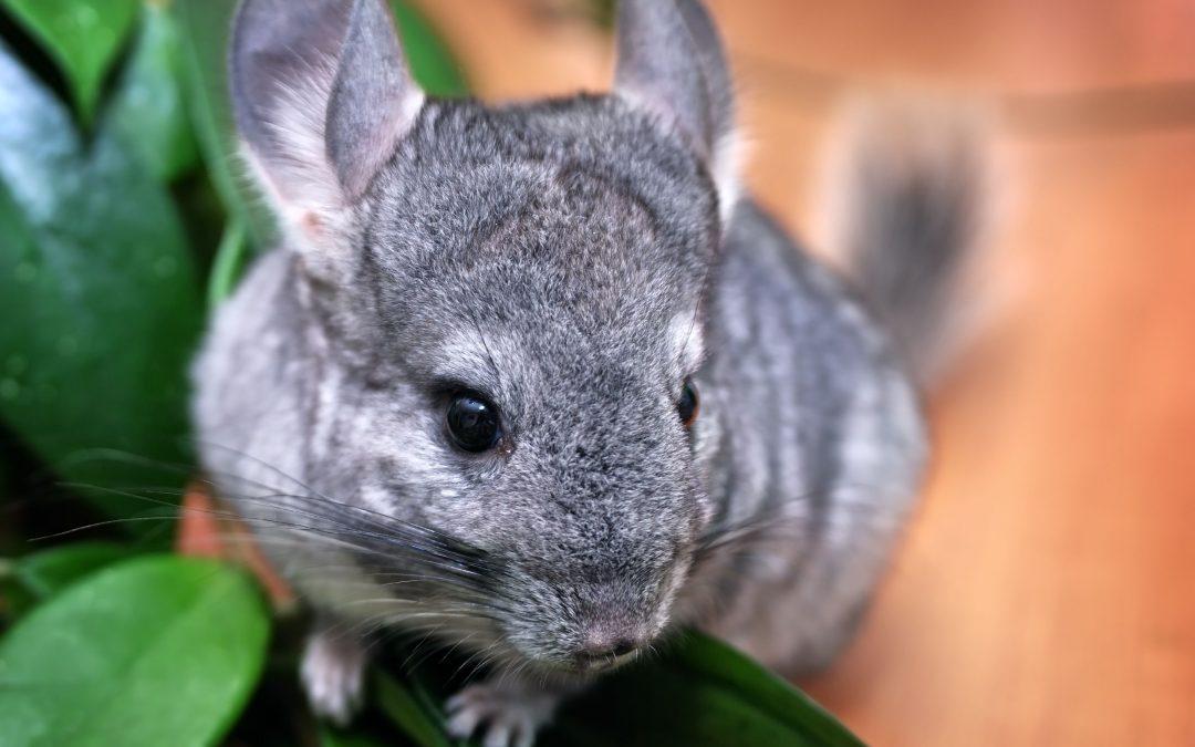 Sábado pet: encontro de pequenos mamíferos e feira de adoção