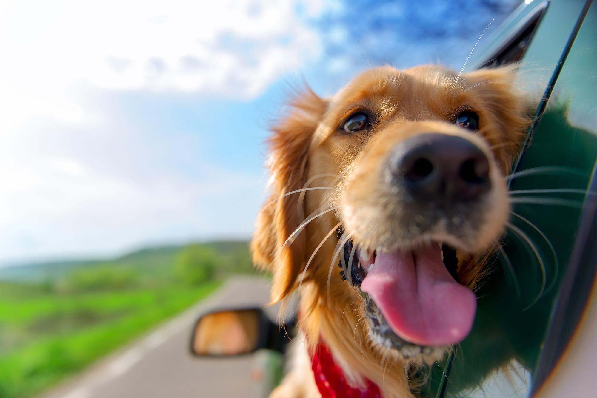 cachorro em viagem