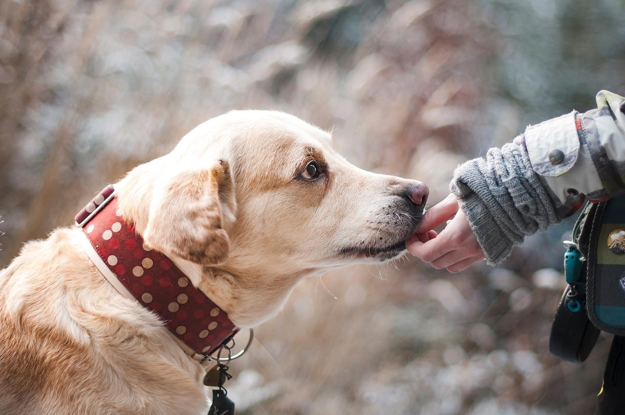 cão adestramento